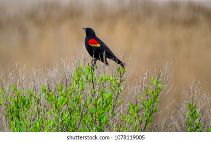 Red-winged Blackbird perched on bush in the wetlands