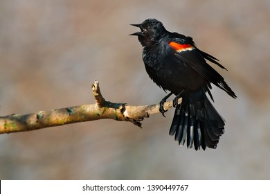 Red-winged Blackbird perched on a dead branch calling out his territory to others. Ashbridges Bay Park, Toronto, Ontario, Canada.