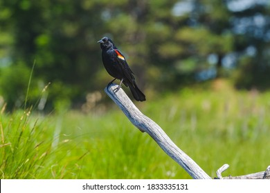 Red-winged blackbird perched on a dead branch