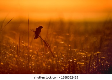A Red-winged Blackbird perches on some tall marsh grass as the early morning sun rises behind it turning the marsh an orange color.