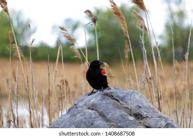 A red-winged blackbird sitting on a rock.