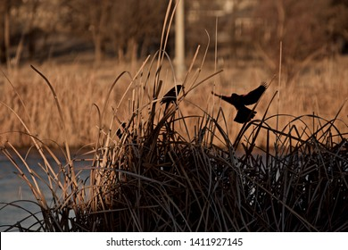 Red-Winged Blackbirds Displaying at Lindsey Park Public Fishing Lake, Canyon, Texas.