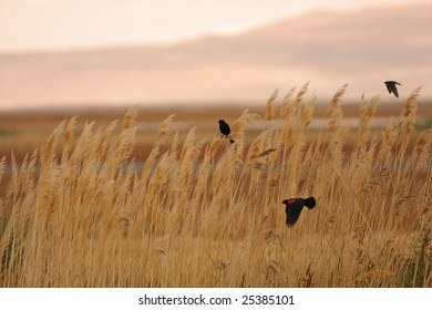 Red-winged blackbirds flying through a field of wheat