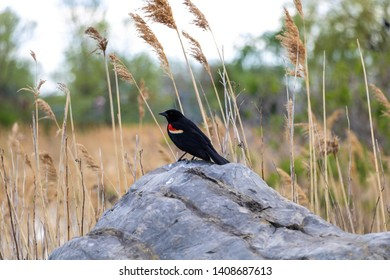 A red-winged male blackbird sitting on a rock.