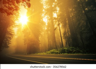 Redwood Foggy Sunset Scenery. Coastal Redwood Forest in the California State, USA. Redwood Highway