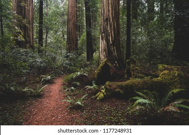 REDWOOD FOREST, CALIFORNIA/USA - NOVEMBER 30, 2017: Hiking trail of the Redwood Forest.