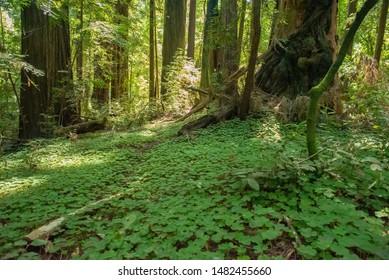 Redwood Forest Floor In California