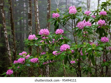 redwood forest  rhododendron