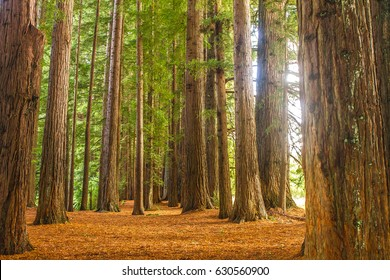 redwood forest, sequoia trees