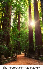 redwood forest with sunlight shining through