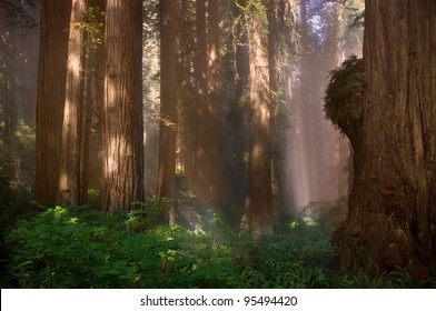 redwood forest trees