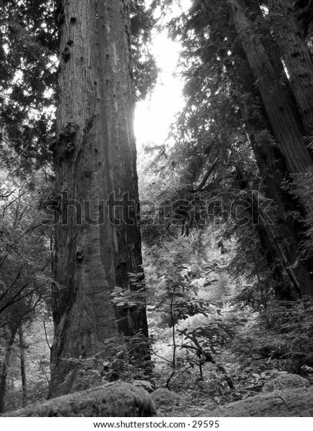 A redwood in Muir woods, California.