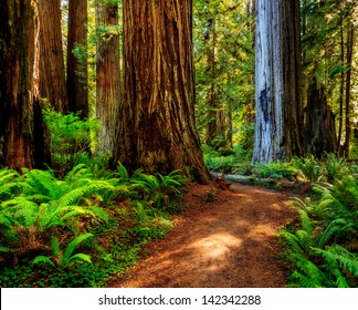 Redwood national park, pathway through the redwoods giants