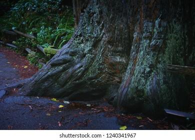 Redwood texture - Muir Woods