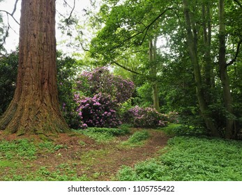 Redwood tree trunk and flowering rhododendrons in a woodland park