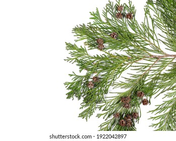 Redwood tree twig with leaves and small pine cones isolated on white background, top view
