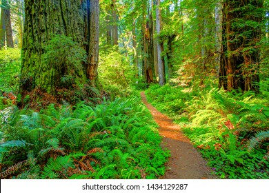 Redwood trees along a trail through the Redwood National and State Parks (RNSP),  They are old-growth temperate rainforests located in the United States, along the coast of northern California.