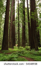 Redwood trees in forest.