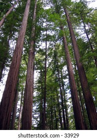 Redwood trees in Humboldt County, CA