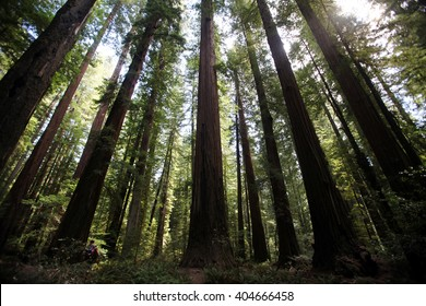Redwood trees, the largest living organisms on earth, rise far above the forest floors of Humboldt County, California.