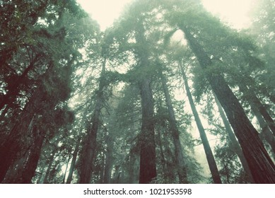 Redwood trees in Muir Woods national park in Mill Valley of Marin County in Northern California in a rainstorm