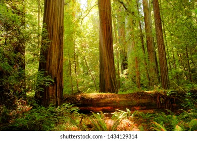 Redwood trees in  the Redwood National and State Parks (RNSP),  They are old-growth temperate rainforests located in the United States, along the coast of northern California.