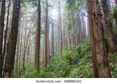 Redwood trees, Sequoia sempervirens, thrive in a moist coastal forest in Klamath, Northern California. Redwoods are the largest trees on Earth and are an endangered species.