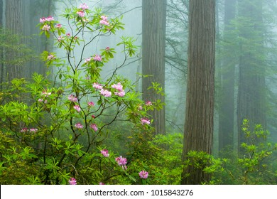 Redwood trees and wild rhododendron flowers  in the Redwood National and State Parks (RNSP), located  along the coast of northern California.