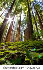 Redwoods in the Avenue of the Giants, California.