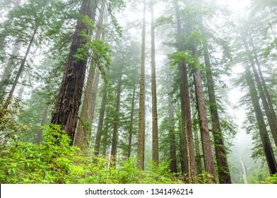 Redwoods in the fog, Lady Bird grove, Redwood national park, California
