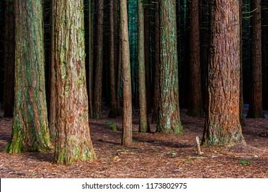 Redwoods Forest - Rotorua