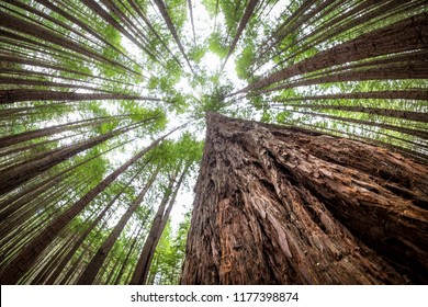 The redwoods forest, rotorua, north island, New Zealand. Tall trees. Forest image. Natural landscape image of jungle. Autumn season natural image. New Zealand wilderness image.