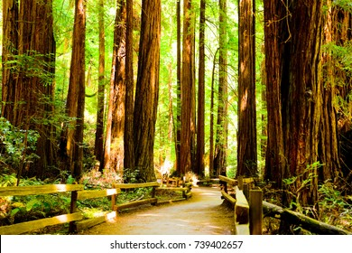 Redwoods National Park - A trail through a stand of redwoods on a sunny summer day