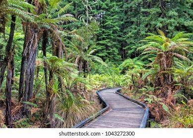 The Redwoods in the Whakarewarewa Forest. Redwoods Treewalk Rotorua, New Zealand
