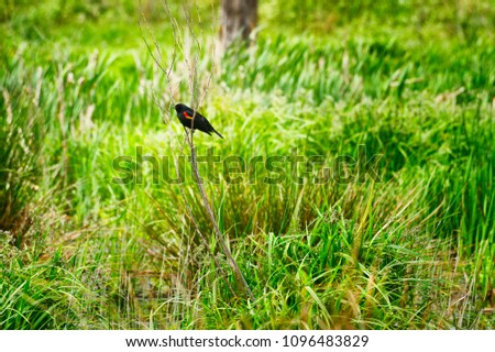 Redwring Black Bird Perches On Spindly Stock Photo Edit Now