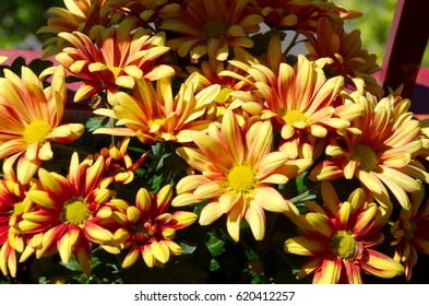 Red-yellow daisies