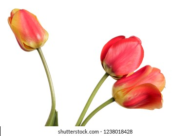 Red-yellow Flower bouquet. Three tulips isolated on a white background