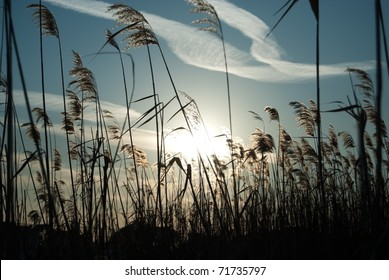 reed against the sun in winter blue sky