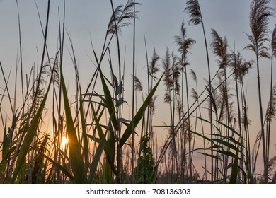 Reed against the sunset closeup