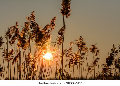 Reed against the sunset. Horizontal view with reed against winter sunset.