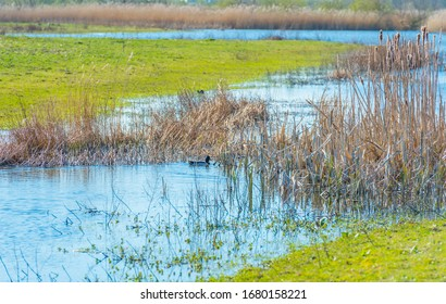 Reed along the edge of a lake in a natural park below a blue cloudy sky in sunlight in spring, Oostvaardersplassen, Almere, Flevoland