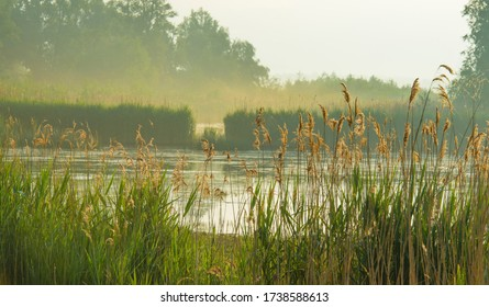 Reed along the edge of a misty lake at a yellow foggy sunrise in an early spring morning