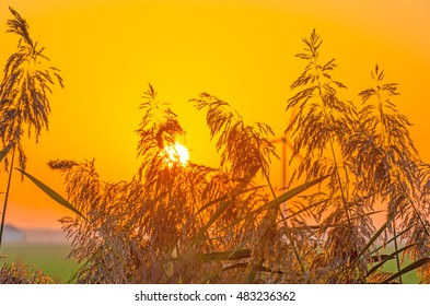 Reed along a field at sunrise in summer