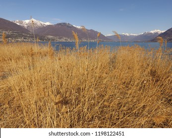 Reed at beach of Lago Maggiore,close to Locarno+Ascona/TI, Switzerland. blue sunny sky, droneflight, early spring, calm + verry clear water, little snow on mountains in the background. 27th March 2016