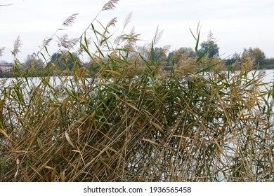 A reed bed between the Curiel lakes of Campogalliano, Modena, Emilia Romagna, Italy