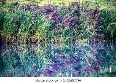 Reed beds mirrored in a lake at sunrise in Combe Valley, East Sussex, England