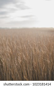 Reed beds in snape in Suffolk on the English coast.
