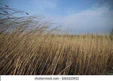 Reed is bowing by the wind at the River Hollandse IJssel at nieuwerkerk aan den IJssel in the winter.