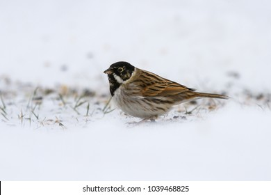Reed Bunting (Emberiza scoeniclus) in Snowy Conditions in the UK