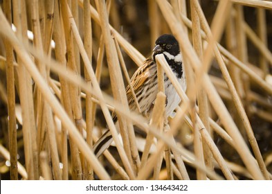 Reed Bunting / Reed Bunting hiding in the reed beds